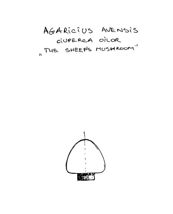 agaricius avensis